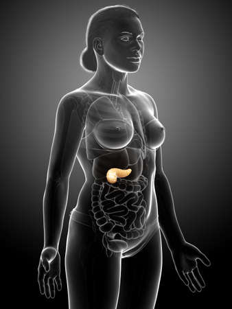 3d rendered, medically accurate illustration of a female pancreas