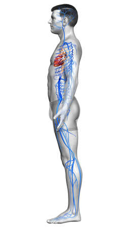 3d rendered medically accurate illustration of a male Veins anatomy