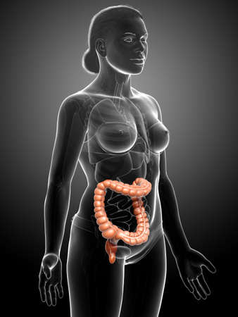3d rendered, medically accurate illustration of female  large intestine anatomy