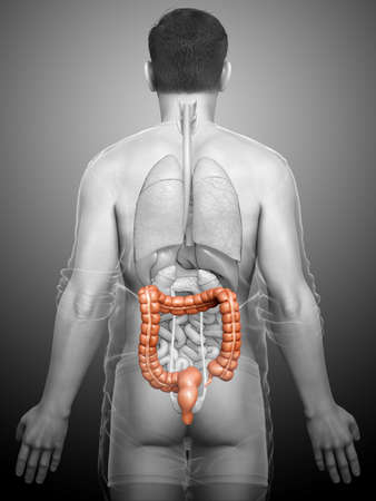 3d rendered, medically accurate illustration of male  large intestine anatomy Stok Fotoğraf