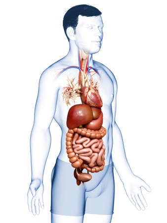3d rendered medically accurate illustration of male Digestive System Stok Fotoğraf - 151153021