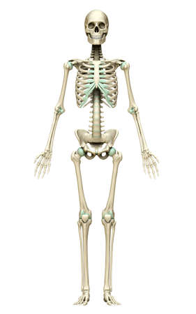3d rendered, medically accurate illustration of the skeleton system Stock Photo