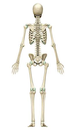 3d rendered, medically accurate illustration of the skeleton system Standard-Bild