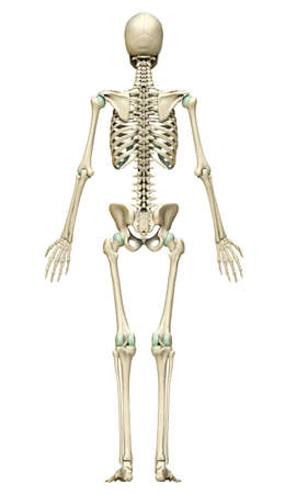 3d rendered, medically accurate illustration of the skeleton system 免版税图像