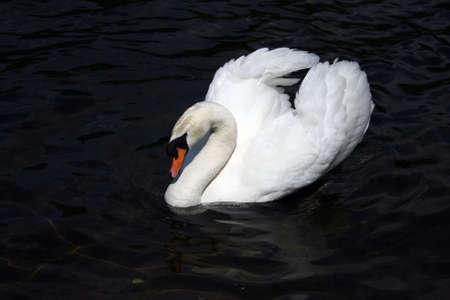 swan Stock Photo - 2209877