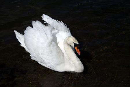 swan Stock Photo - 2209876