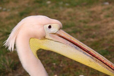frizzy: frizzy head pelican Stock Photo