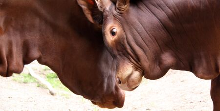 ganado de cuerno largo Foto de archivo - 5047877
