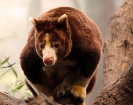 animal pouch: Matschies Tree Kangaroo Stock Photo