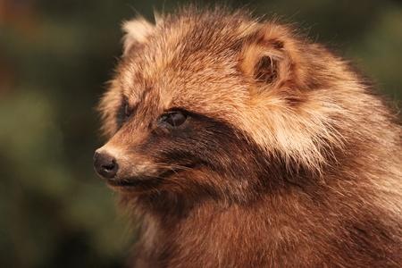 one brown Raccoon looks in the Cam Standard-Bild