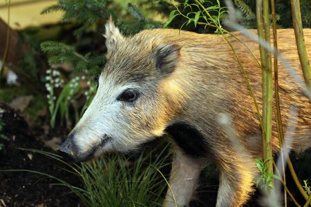 closeup of a wild boar in the wood photo