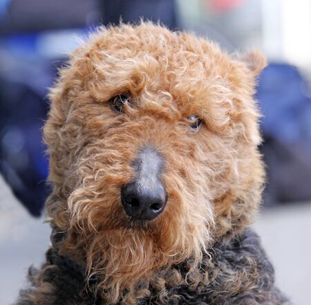 cute ,big,Brown airedale terrier dog close up photo