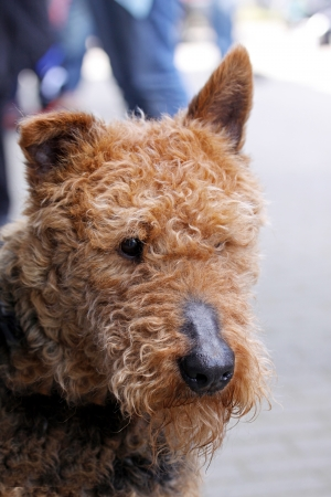 airedale terrier dog: cute ,big,Brown airedale terrier dog close up