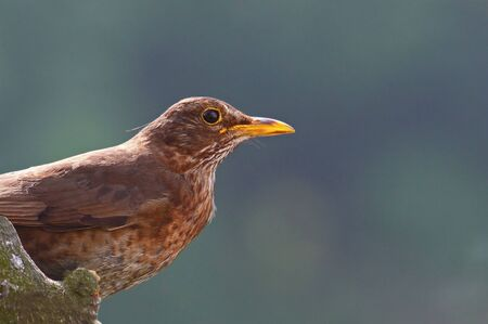 Female blackbird close up from the side photo