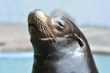 curious: curious seal Stock Photo