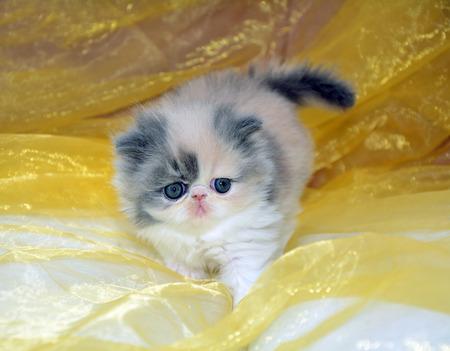 gray cat: one beautiful gray white Persian Baby cat Stock Photo