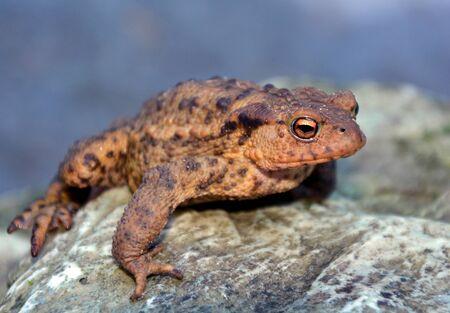 urban wildlife: Green Frog is sitting on a stone
