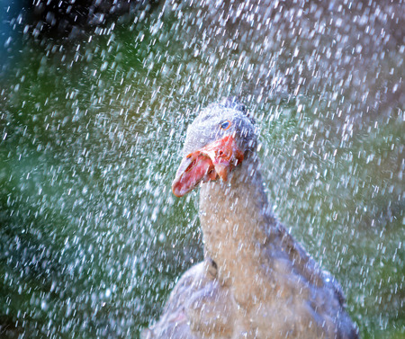 drench: Goose standing in a shower and has a lot of fun