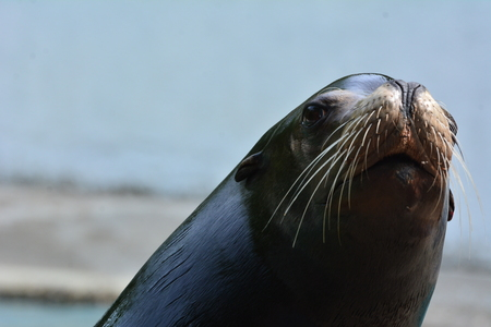 a nice close up of a seal at the zoo