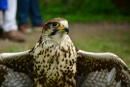 falco peregrinus: A close-up of the face of a Peregrine Falcon Staring at the camera.