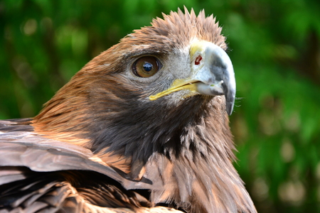 close p: Golden Eagle is looking into the cam