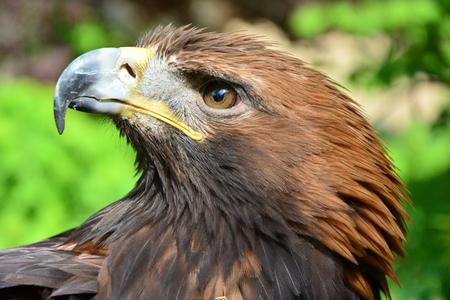 aigle royal: Golden Eagle est � la recherche dans la came