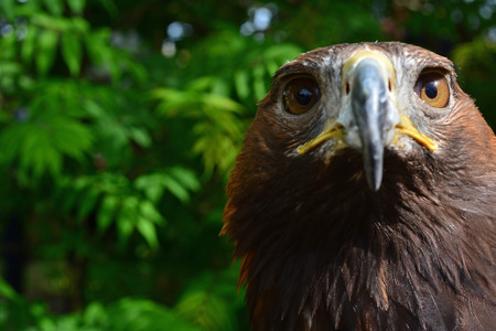 golden eagle: Golden Eagle is looking into the cam