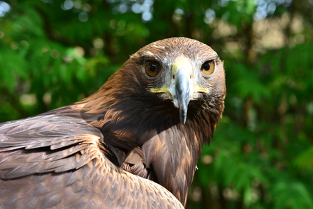 Golden Eagle is looking into the cam