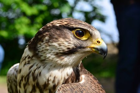 A close-up of the face of a Peregrine Falcon Staring at the camera.