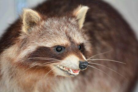 raccoon: Cute Raccoon Stock Photo
