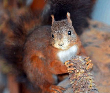 fluffy tuft: Red Squirrel (Sciurus vulgaris)