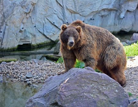arctos: A brown bear in the forest. Big Brown Bear. Bear sits on a rock. Ursus arctos. Stock Photo
