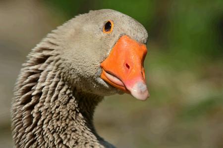 Portrait Of A Greylag Goose