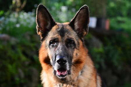 sheppard: portrait of an big adult german sheppard