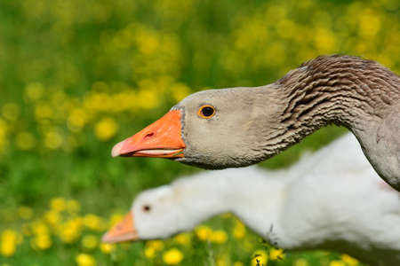 Pair of Goose walking on green Gras