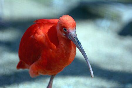 one red Ibis is standing in the water Standard-Bild