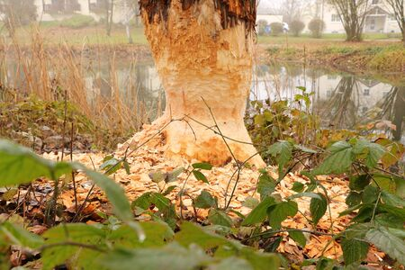 Wild damage of a beaver on a tree trunk in the spa gardens of Bad Goegging Stock Photo