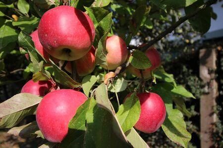 "Ã""pfel an einem Apfelbaum Stock Photo"