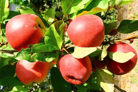 Rote Äpfel an einem Apfelbaum Stock Photo - 92641933