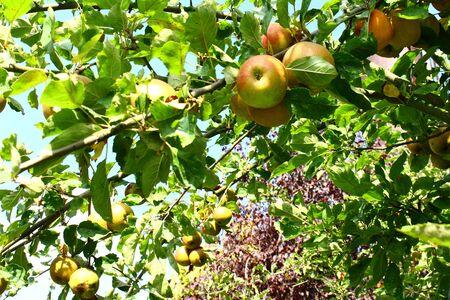 """""""pfel im Herbst an einem Apfelbaum Standard-Bild - 92641937"""