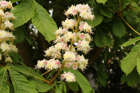 Flowers on a chestnut tree