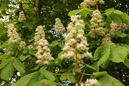 Flowers on a horse-chestnut