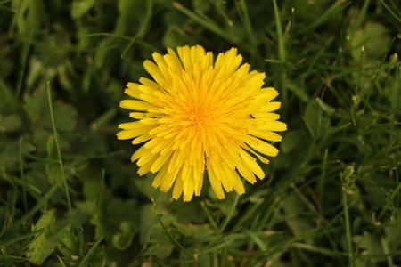 Closeup of a dandelion flower