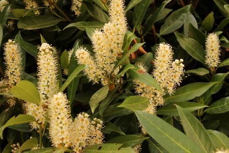 Flower buds of a real laurel