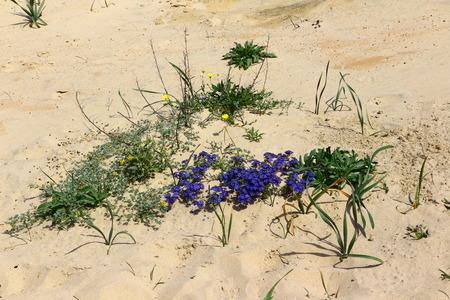 Blossom on the beach of Chiclana de la Frontera in spring