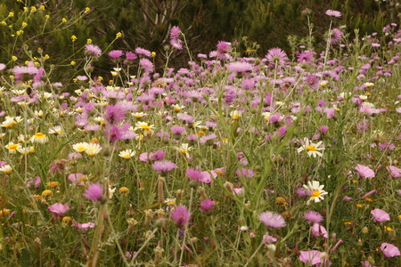 Colorful flower meadow in the spring at the Costa de la Luz in Andalucia