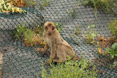 Free-range Barbary Macaque in Gibraltar