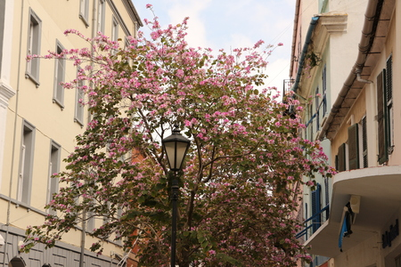 Blooming tree in the center of Gibraltar