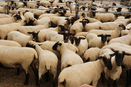 Flock of sheep in Wickede an der Ruhr Stok Fotoğraf - 103499424