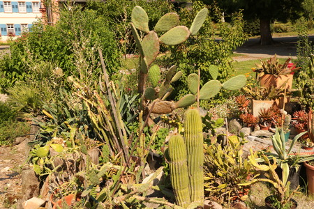 Cactuses in the monastery garden of St. Trudpert Monastery in the Black Forest Stock Photo